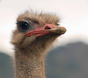 avestruz enigmática de Buñuel