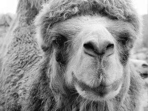 Camello declarado indeseable-1